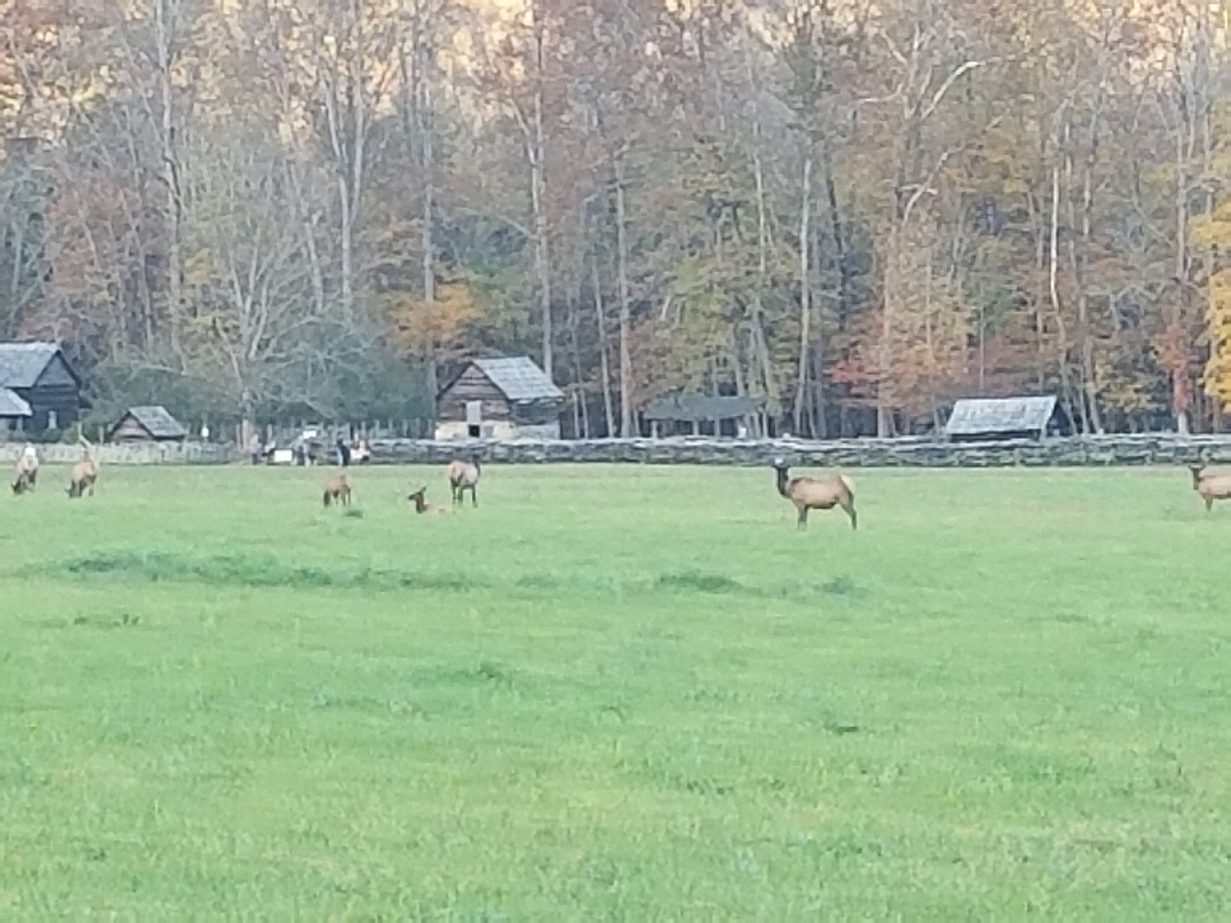 Oconaluftee Farm VIllage with Elk grazing